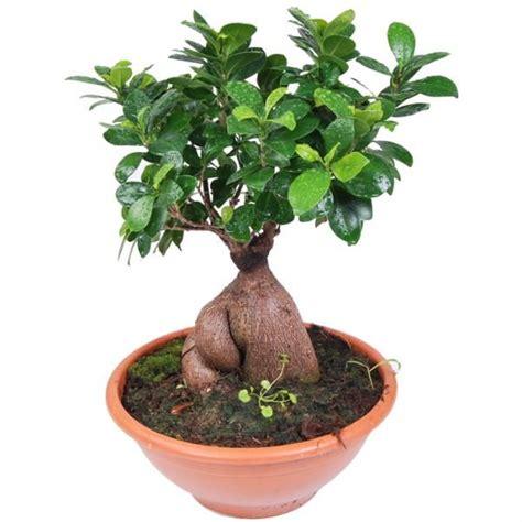 Arrosage Ficus Ginseng by Ficus Ginseng Flori Exotique Plantes Et
