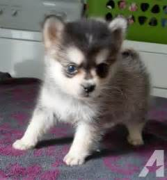 Pomsky puppies only 10 12 lbs full grown for sale in orlando