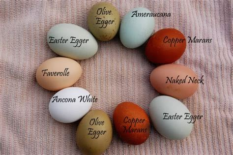 why are eggs different colors maple grove eggs of a different color