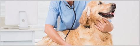 golden retriever lethargic pancreatitis in golden retriever dogs symptoms causes and treatment