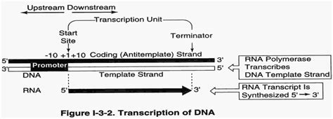 What Is The Template Strand by Mbbs Medicine Humanity Transcription Rna Processing