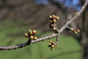 file apple tree buds jpg