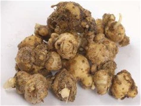 Herbal Kanker Payudara Temu Putih Segar 1 Kg Kunir Putih tanaman pelawan kanker dari kunyit putih hingga benalu toko nabawi herbal