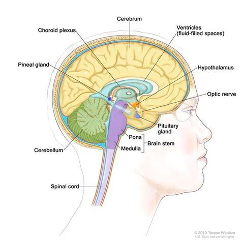 brain tumor diagram pituitary tumors treatment pdq 174 patient version