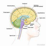 Hypothalamus   750 x 750 jpeg 58kB