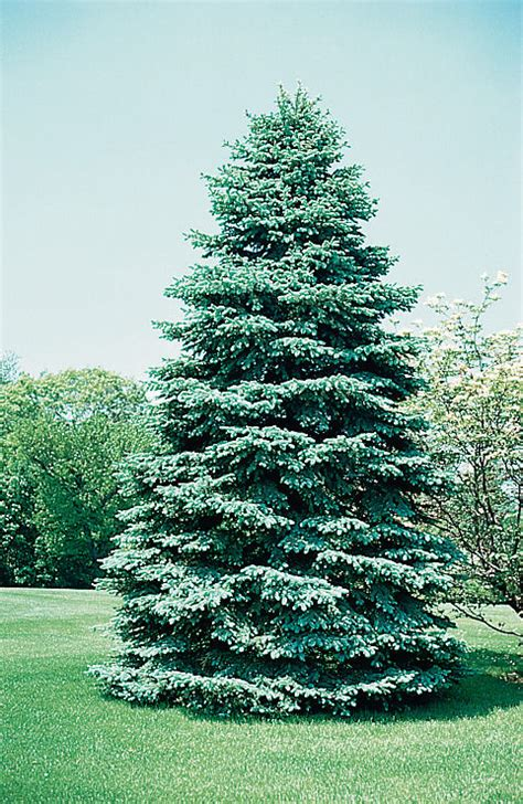 colorado blue spruce trees buy online at nature hills arbor day foundation offers colorado blue spruce trees to