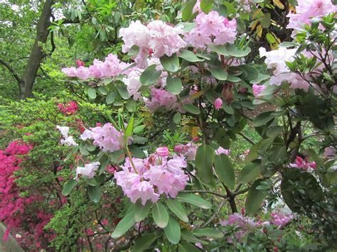 fiori di rododendro coltivazione rododendro rhododendron spp dove