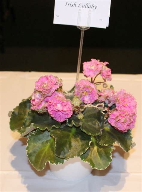 Lighting Tips african violets burbank african violet society