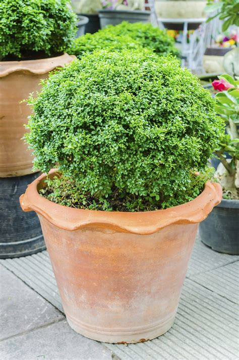 tree container evergreen container plants learn about container grown