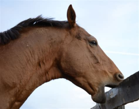 Cribbing In Horses Facts by Myths About Cribbing In Horses The Owner S Resource