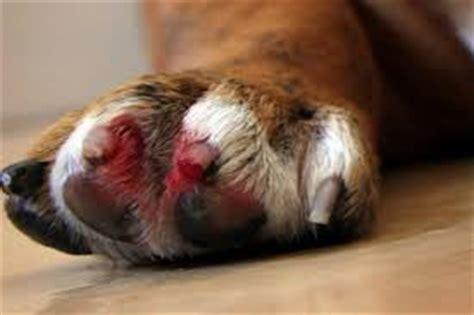 stop dog nail bleeding  styptic powder corn