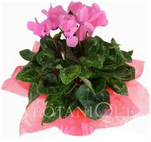 cyclamen history and cyclamen care botanique flowers by