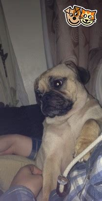 pugs for sale in newcastle 1 1 2 year fawn pug for sale newcastle upon tyne tyne and wear