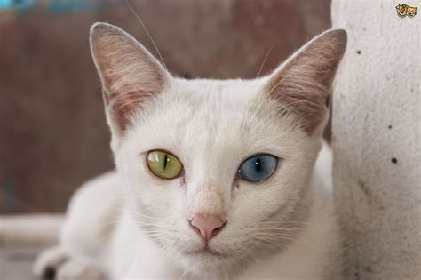 An introduction to the various Thai cat breeds   Pets4Homes