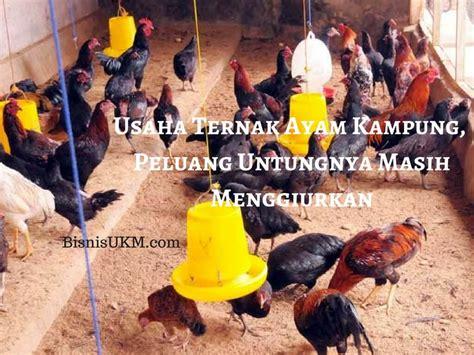 Ayam Potong Yang Masih Kecil Usaha Ternak Ayam Kung Peluang Untungnya Masih Menggiurkan