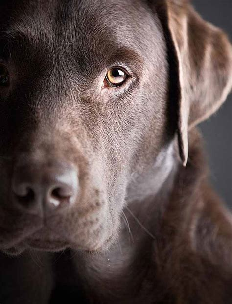 names for brown dogs chocolate lab names sweet names for or labs chocolate and labradors
