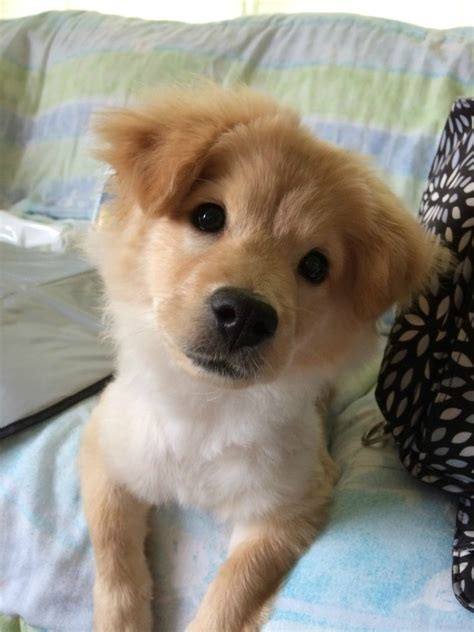 chow golden retriever mix golden retriever chow mix photos thriftyfun