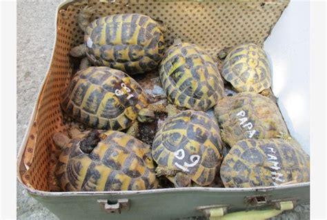 tartarughe in casa in casa nove tartarughe denunciato tiscali notizie