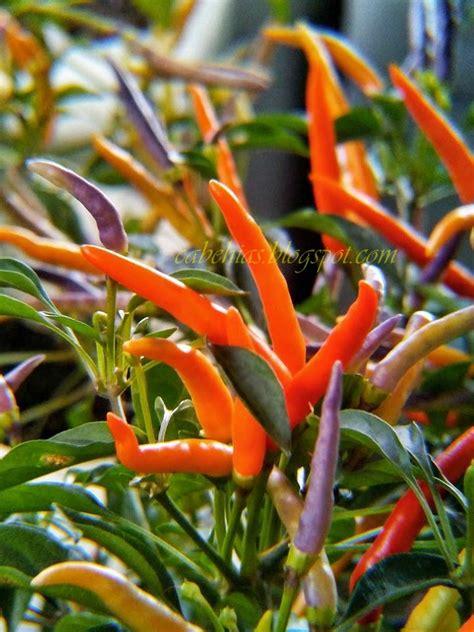 15 Benih Cabe Rawit Ornamental jual benih cabe hias