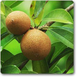 buy chiku chikku chikoo grafted plant   nursery   plants  lowest price