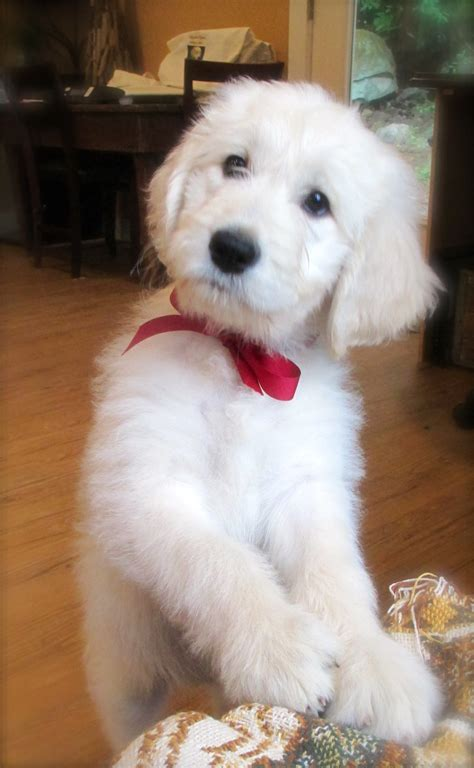 mini goldendoodle puppies nc goldendoodles for sale nc to miniature goldendoodles for sale breeds