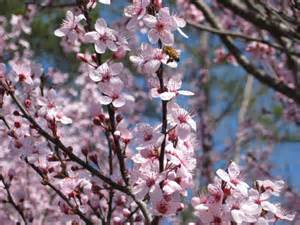ornamental purple leaf plum tree pictures to pin on