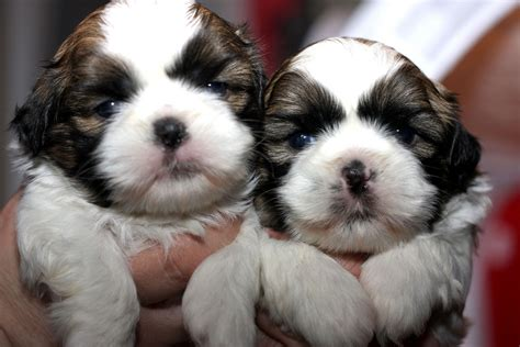 new shih tzu puppy 25 best shih tzu pictures and photos