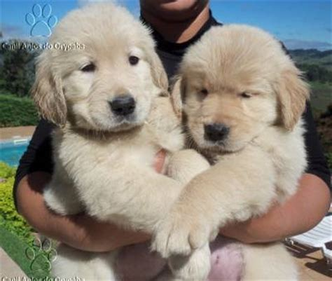 golden retriever venda golden retriever filhotes machos e f 234 meas cachorros animais de estima 231 227 o
