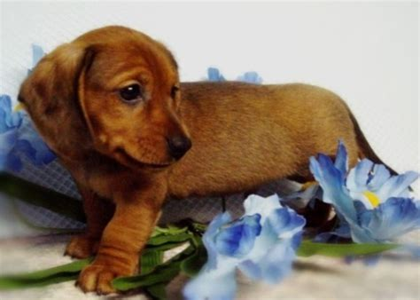 dachshund puppies ohio mini dachshunds in ohio from diamant s boys puppies for sale