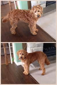 how to cut a goldendoodles hair 17 best images about zelda haircut on pinterest f1b