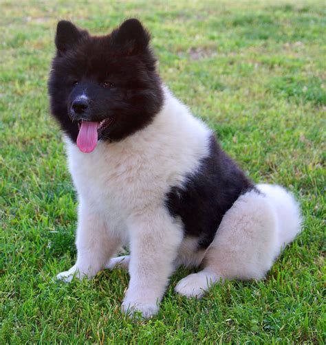 black akita puppies pin american akita puppies black and white pictures on