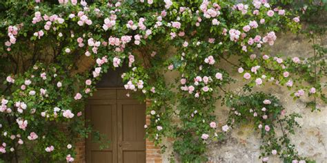 wall climbing plants for your garden the four types of vines and climbing plants my gardening