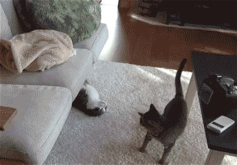 swings katze cat gif page
