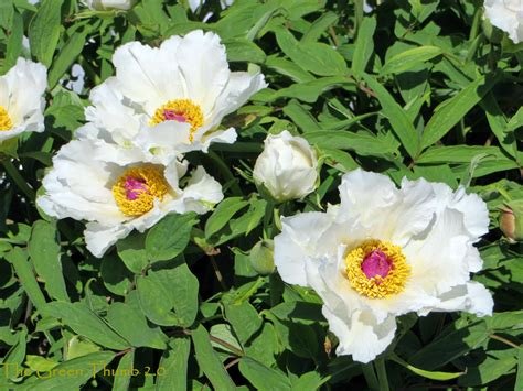 opinions on tree peony