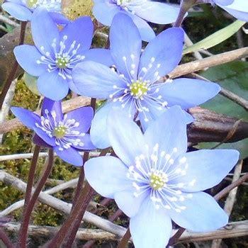 fiori azzurri nomi album fotografico e descrittivo dei fiori spontanei la