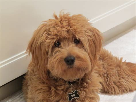 mini goldendoodles doodle country minidoodles mini goldendoodles breeder