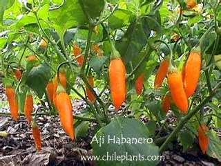 chileplants.com aji habanero live chile/pepper plant