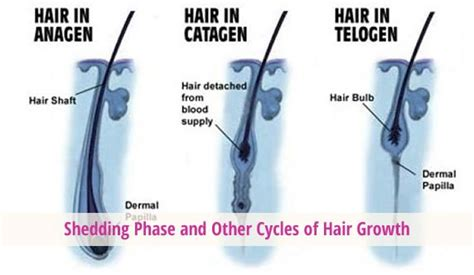 Shedding Phase Of The Hair Growth Cycle by Hair Shedding Phase