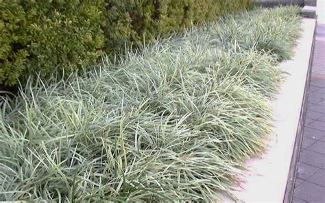 aztec grass buy aztec grass liriope for sale from wilson bros