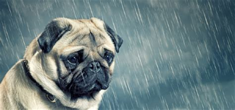 can dogs cry tears can dogs cry