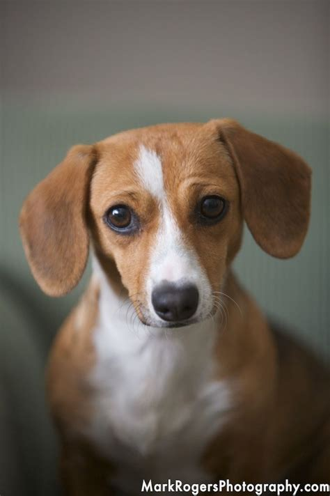 beagle weiner mix 17 best images about dogs on chihuahuas for dogs and separation anxiety
