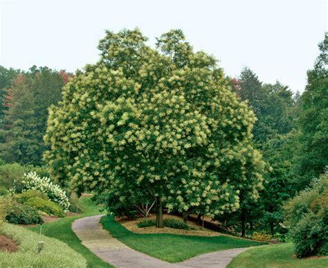 liliana usvat reforestation and medicinal use of the trees japanese pagoda tree sophora