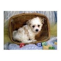 havanese rescue kansas city picture of one of our havanese puppies for sale in prince edward breeds picture