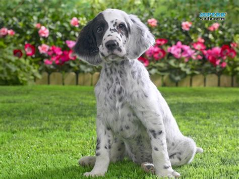 english setter dog images english setter dog in flowers photo and wallpaper