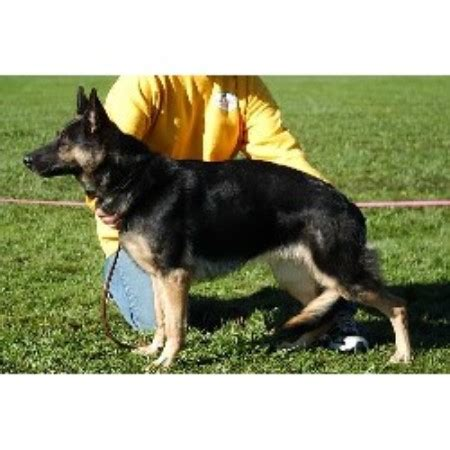 free puppies in cleveland ohio locherie shepherds german shepherd breeder in cleveland ohio listing id 17283