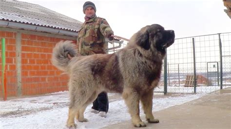 Caucasian Also Search For Grizli 2 15 Months Caucasian Shepherd