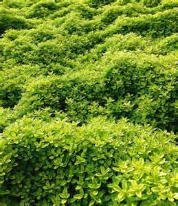 balduar garten zitronenthymian top pflanzen kaufen baldur garten