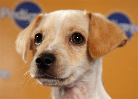chihuahua terrier mix puppies pictures of terrier chihuahua mix breeds picture