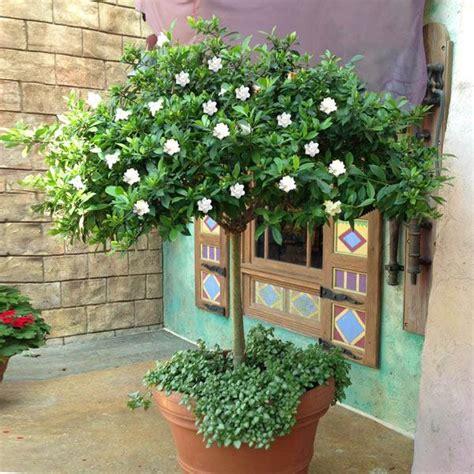 double blooming gardenia patio trees  sale
