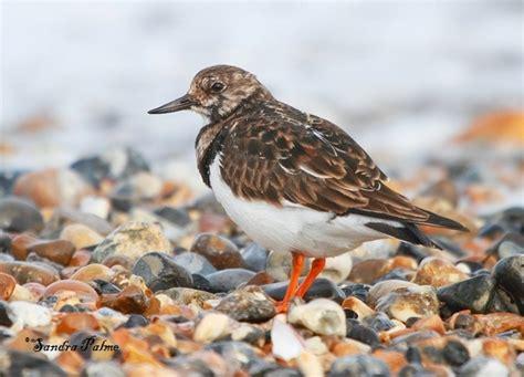 turnstone bird photos by sandra palme
